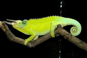 Kameleon foto 2