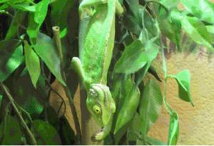 Kameleon foto 3