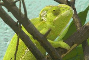 Kameleon foto 6